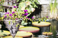 From the back yard pond (Rick Drew - 23 million views!) Tags: pond yard amazon amazonica pad giant spines thorns basket purple flower bougainvillea bokeh
