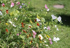 Busy Border (haberlea) Tags: garden mygarden flowers border flowerbed plants green colourful lavatera