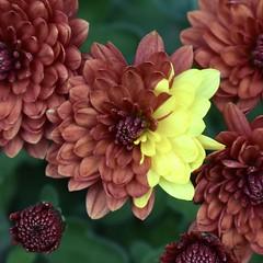 There is always one! (MJ Harbey) Tags: flower chrysanthemum garden asteraceae plant nikon d3300 nikond3300