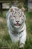 White Tiger (barrycooper242) Tags: hamertonzoo bigcat cambridgeshire whitetiger whitebengal