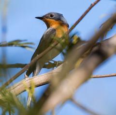 Leaden Flycatcher (f) (petermurphy14) Tags: canberra flycatcher leadenflycatcher redhillnaturereserve bird birdphoto birdphotography canberrabirds