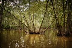 Lost in the sameness (Nola Nate) Tags: honeyislandswamp ibeauty swamp water trees cypress tupelo louisiana landscape nature vignette