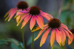 Three Cone Flowers (San Francisco Gal) Tags: flower fleur flora coneflower echinacea bloom blossom bokeh ngc npc