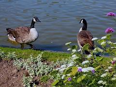 P1340747 PARIS   PARC FLORAL DE LA VILLE  DE PARIS  12eme   BOIS DE VINCENNES    (( DES DROLES D'OISEAUX)) (closier.christophe) Tags: oiseaux animaux pland'eau etang parc floral parcfloralvincennes boisdevincennes vincennes paris