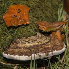 Lindum Skov 12 - Fyrsvamp 3 (Walter Johannesen) Tags: lindum skov wood forrest efterår autumn herbst fall svamp fungi mushroom 65000 schwämme