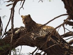 PA012242 Leopard (Joanna P Dale) Tags: kgalagaditransfrontierpark tweerivieren olympus omdem1mkii panasonic100400 africanleopard leopard