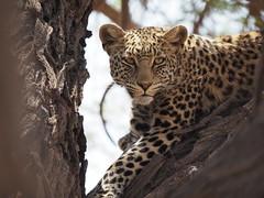 PA012105 Leopard (Joanna P Dale) Tags: kgalagaditransfrontierpark tweerivieren olympus omdem1mkii panasonic100400 africanleopard leopard