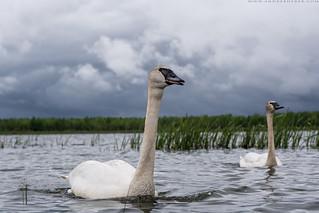 Trumpeter Swan - Cygne Trompette