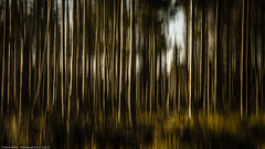 mystic trees (H.Roebke) Tags: de canon5dmkiv graufilter abstrakt abstract wald harz ndfilter forrest trees 2017 niedersachsen farbe canon24105mmf40lisusm schwenk color bäume lightroom germany