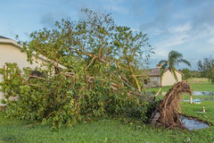 """There Goes The Avocado Tree pt2"" (So Fluid) Tags: hurricane hurricaneirma irma damage destruction water tree rain wind storm florida southflorida landscape landscapephotography sofluid color canon nature weather pool morning grass wood sky"