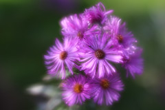 asters (debbfay) Tags: asters lensbaby