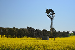 Golden Pastures (PhotosbyDi) Tags: famousflickrfive fff canola dookie agriculture crops nikond600 nikonf355628300mmlens windmill