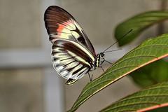 Tone Deaf Piano Key Butterfly (Darts5) Tags: pianokeybutterfly pianokeybutterflies pianokey bug bugs butterfly butterflies butterflyeye macro macros 7d2 7dmarkll 7dmarkii 7d2canon ef100l closeup canon7d2 canon7dmarkii canon7dmarkll canon canonef100l upclose