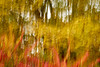 FallICM 209 (Shani Mootoo) Tags: fall autumn forest sumac