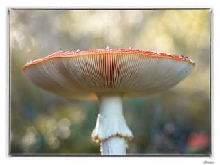 Vliegenzwam / Amanita muscaria