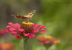 Painted Lady (KvonK) Tags: butterfly zinnia paintedlady fall 2017 october kvonk nature