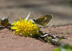 Dainty Sulphur (KsCattails) Tags: daintysulphur kscattails powellgardens butterfly flower dandelion