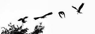 Grey heron (Ardea cinerea) in flight composite