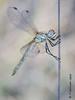 Halloween-fly (Fernando Guirado) Tags: 2017 lleida macro alfés closeup dragonfly libélula sony 90mmfe 90mm sonyfe90mm nex6 nex wow macrofotografia macrophoto macrophotography macrofoto sympetrumfonscolombii female hembra femella