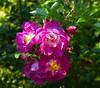 2017 Germany // Unser Garten - Our garden // im September // (maerzbecher-Deutschland zu Fuss) Tags: 2017 garten natur deutschland germany maerzbecher garden unsergarten september