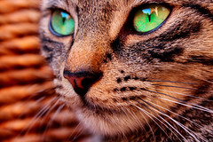 (frogghyyy) Tags: macro macrophotography cat canoneos1000d green eyes portrait