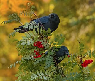 American Crows (20171011-130238-PJG)