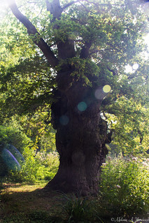 King Oak with Sun Flares