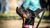 Portrait (zola.kovacsh) Tags: outside outdoor animal pet dog school pup puppy dobermann doberman pinscher