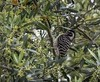 Female Nuttall's woodpecker (julesnene) Tags: julesnene juliasumangil backyard garden bird canon7dmarkii canon7dmark2 canonef70200mmf4lusmlens woodpecker nutallswoodpecker female olivetree