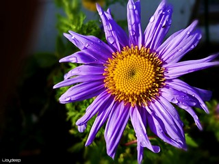Last flower in garden before winter