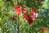 preparing 4 flight (Leonard J Matthews) Tags: butterfly prepare flutter creation nature environment australia mythoto caperwhite migration migrate red bloom bottlebrush