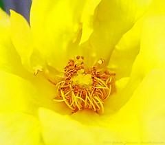 Bright yellow (dksesh) Tags: seshadri dhanakoti harita panasonic dmcg6 g6 hounslow rose sesh seshfamily haritasya hevilambisamvatsara panasonicdmcg6 panasonicg6 boroughofhounslow garden