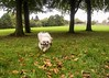 Running Coco in autumn leaves (Lisangel) Tags: ulster hillsborough trees autumn tongue running shihtzu dog