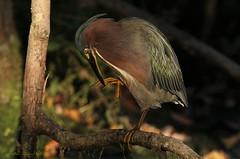 right there (don.white55 That's wild...) Tags: greenheronbutoridesvirescens donwhite thatswildnaturephotography preening perched bird heron beak bigbeak birdseye