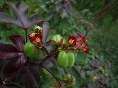 Jatropha gossypifolia L. Euphorbiaceae-Bellyache Bush, สบู่แดง
