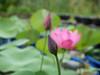 Sacred Lotus 'Chinese Red Xibeipo' Wahgarden Klong15 003 (Klong15 Waterlily) Tags: chinared lotus lotusflower flower sacredlotus thailotus nelumbo nelumbonucifera pond