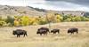 Follow the Leader (Rick Derevan) Tags: custerstatepark southdakota bison buffalo animal herd fallcolor trees leaves autumn droh dailyrayofhope