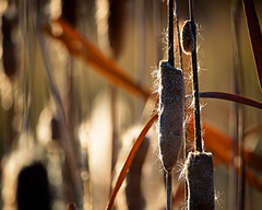 Frosted Cattail (droy0521) Tags: seasons plant macro events bokeh nature flower colorado outdoors seed cattail fall places flowersplants