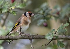 DSC_9462 Goldfinch (Rattyman76) Tags: goldfinch bird nikon810 hawthorn nikkor3000mmf28 nikon17converter