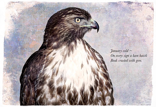 Red-tail Hawk ~ Haiku-1