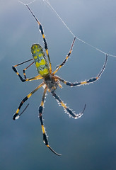 Look - no hands! (mishko2007) Tags: nephilaclavata spider korea 105mmf28