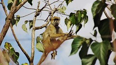 """Yellow Baboon • <a style=""""font-size:0.8em;"""" href=""""http://www.flickr.com/photos/152934089@N02/37566243966/"""" target=""""_blank"""">View on Flickr</a>"""