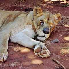 """Bella the Lioness • <a style=""""font-size:0.8em;"""" href=""""http://www.flickr.com/photos/152934089@N02/37566267706/"""" target=""""_blank"""">View on Flickr</a>"""
