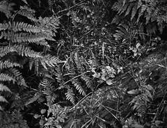 IMG_20170726_0013 (Filmphotographic98) Tags: film photography medium format shootfilm forestry trees woodland ferns tunnel bristol somerset