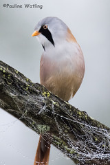 Bearded Tit 3 (stagenutuk) Tags: beardedtit bird nature naturereserve nikond7200 tamron150600mmlens somersetlevels somerset