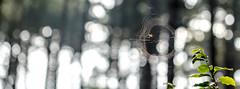 Building a home (Wouter de Bruijn) Tags: fujifilm xt1 fujinonxf90mmf2rlmwr spider web spiderweb spidersweb forest trees leaves fall autumn nature bokeh depthoffield outdoor oranjezon vrouwenpolder walcheren zeeland nederland netherlands holland dutch
