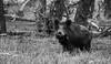 Wild Zwijn - Sus scrofa - Wild Boar (merijnloeve) Tags: wild zwijn sus scrofa boar hoge veluwe ge gelderland keiler nationaal park de