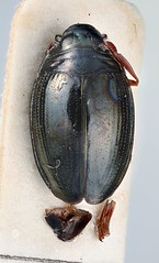 Gyrinus continuus Regimbart, 1907 (Biological Museum, Lund University: Entomology) Tags: coleoptera gyrinidae regimbart gyrininae gyrinus continuus mzlutype05690 taxonomy:binomial=gyrinuscontinuus