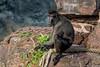 Pairi-Daiza (musette thierry) Tags: pairidaiza musette thierry d600 nikon 28300mm annimal animalier animaux jeux falowme noir parc zoo jardin