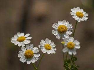 Fleurs de camomille *